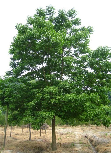 广东重阳木、种植、基地、批发【东台市绿博绿化工程有限公司苗圃基地】