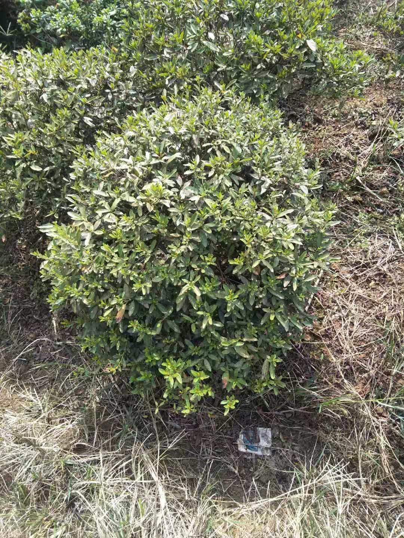 杜梋球 湖南杜梋球种植基地 杜梋球哪里的有卖 杜梋球批发