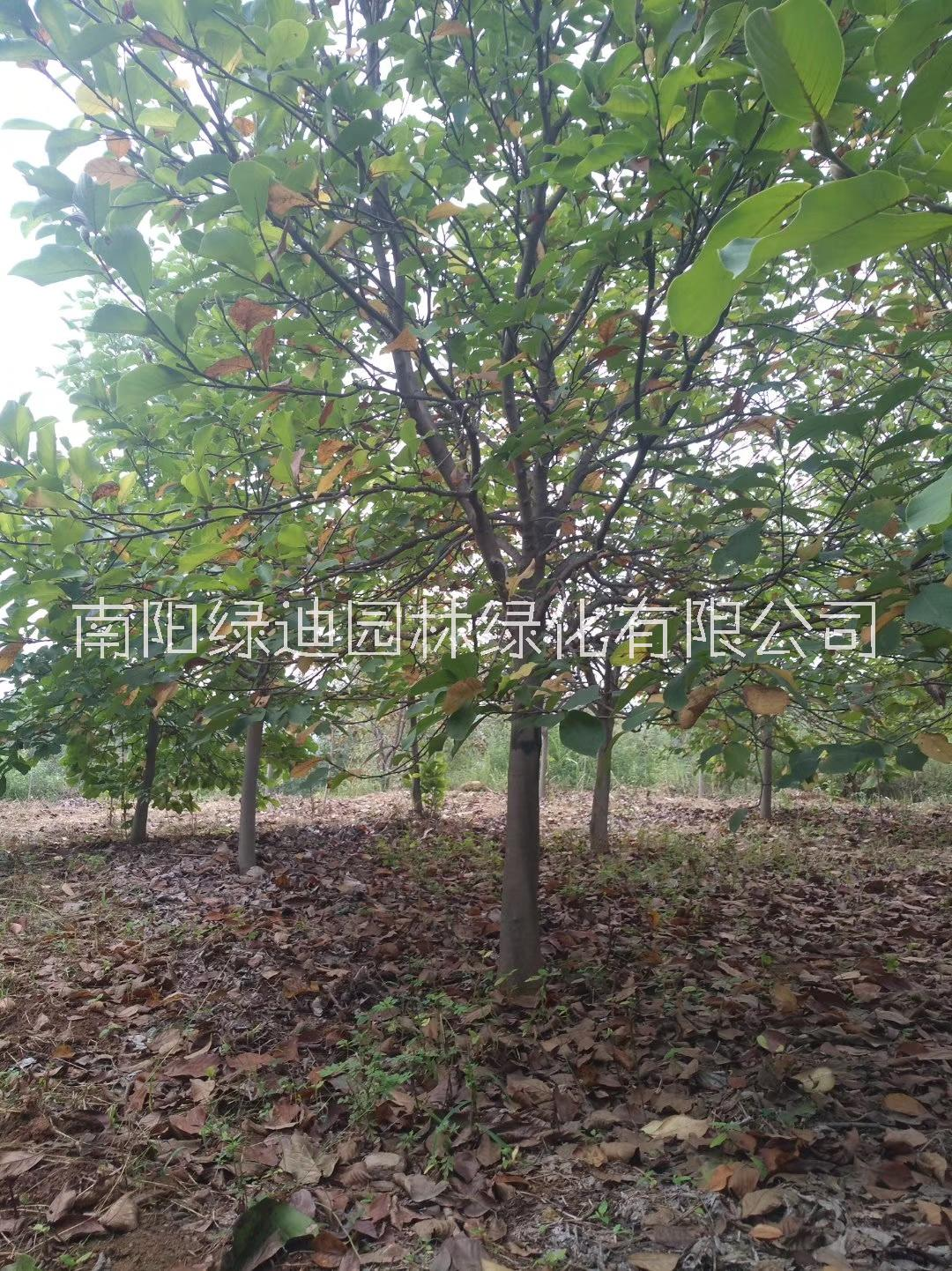 紫玉兰价格、种植、报价、直销【南阳市绿迪园林绿化有限公司】