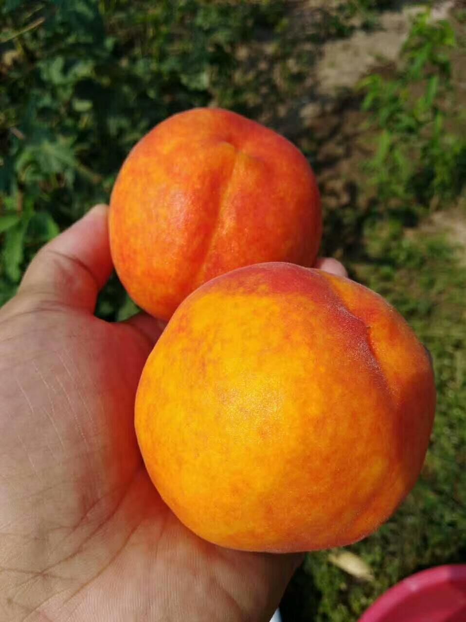 新黄金蜜1号黄桃、种植、价格、批发、报价【兴化市猕梦园花木种植场】