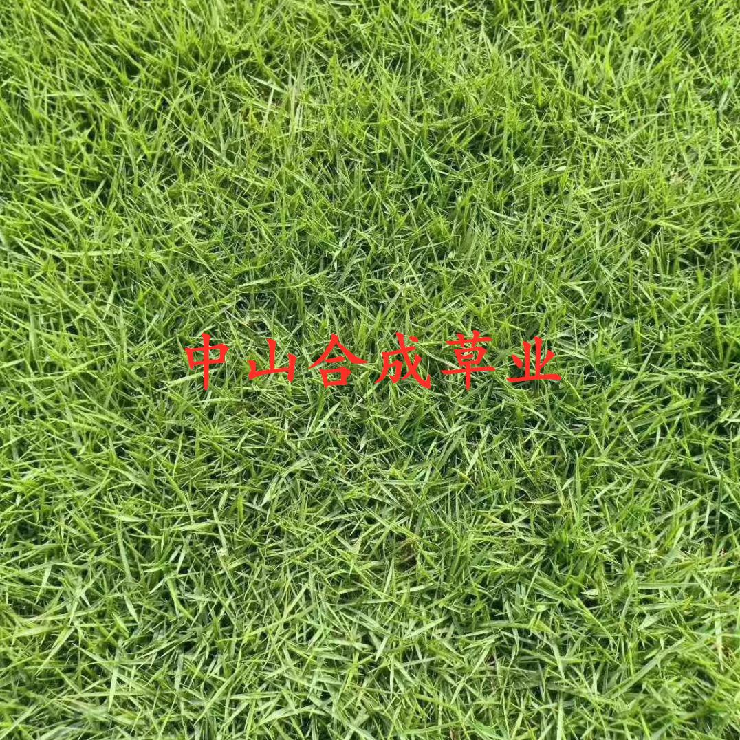 珠海台湾草卷批种植基地直销价格 高存活率