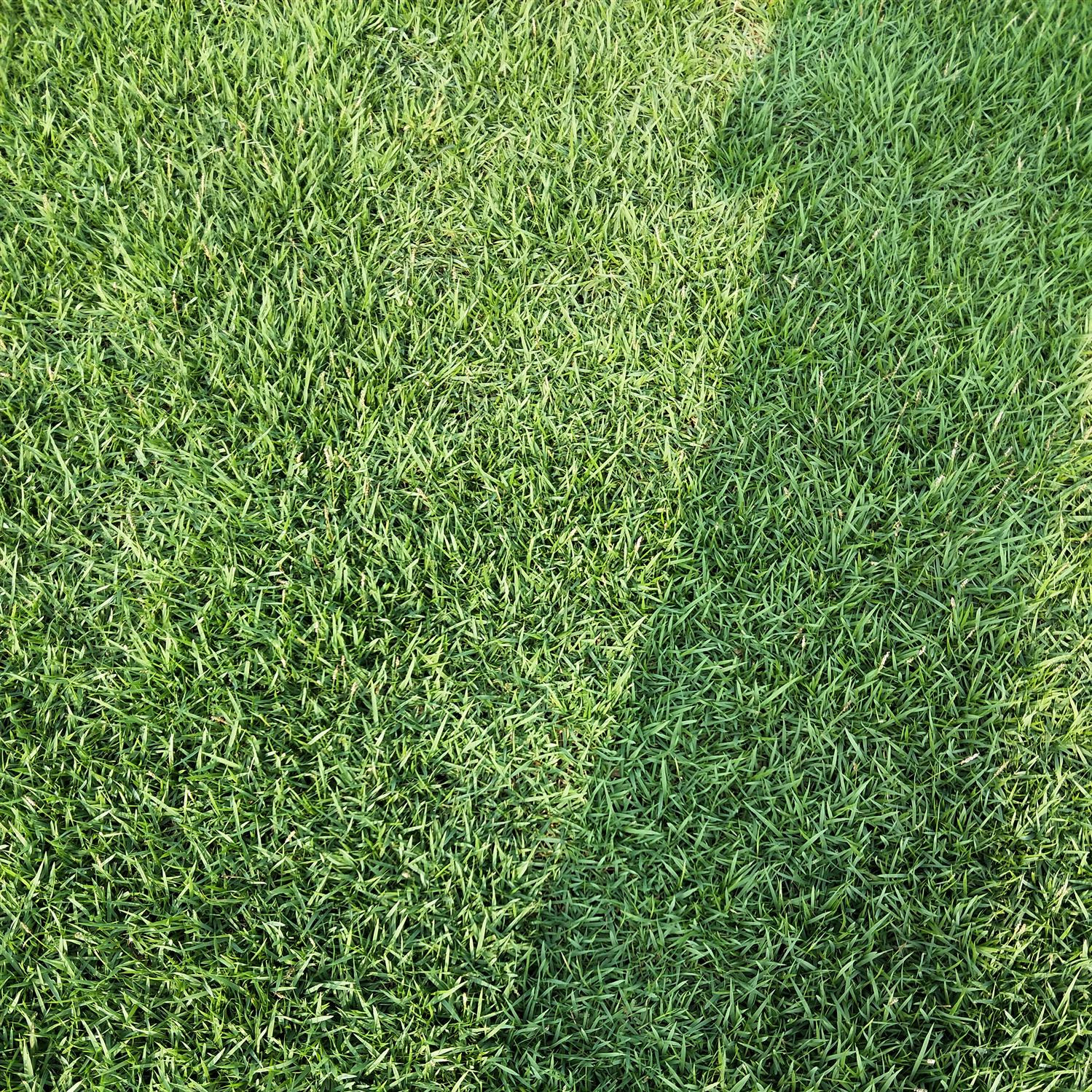 广东城市一号草专业种植基地直销价格