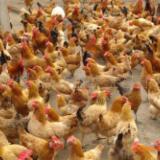 贺州市散养鸡价格 低价出售土鸡 土鸡养殖技术