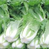 桂林市白菜种植基地 专业种植各种蔬菜 大量批发