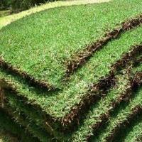 直销合浦兰引三号草皮 草皮专业种植基地 体育场用草坪