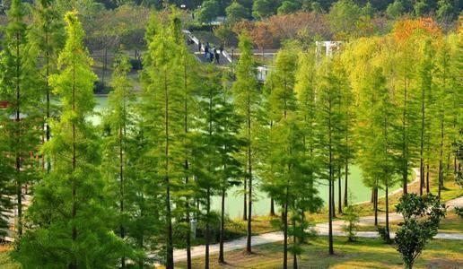 苏州市水杉种植基地 批发绿化工程苗木 杉树栽培技术
