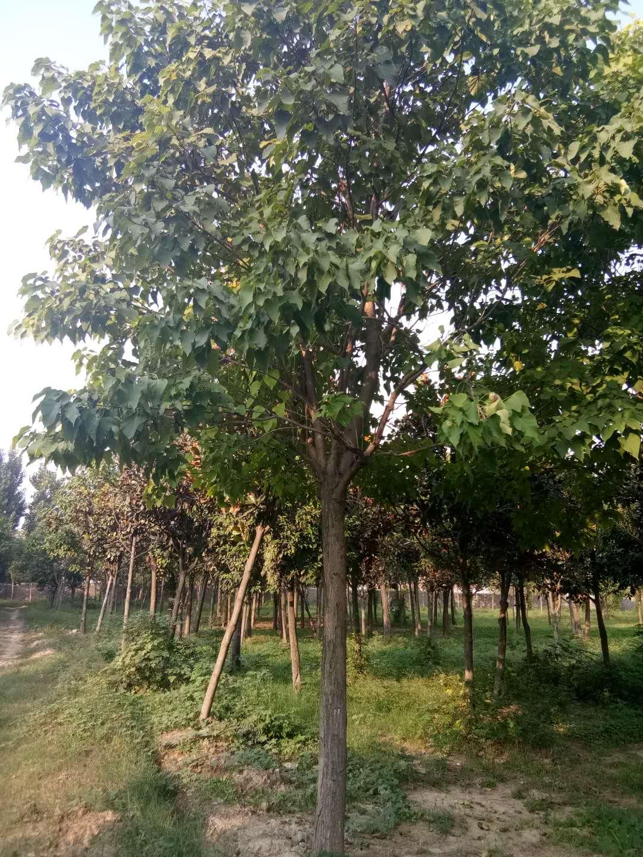 河南专业楸树种植基地_哪家价格便宜