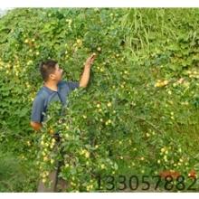 丽水枣果苗供应商  枣种苗批发价格电话   厂家直销  种类繁多