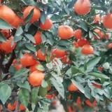 丽水红美人柑橘果苗供应商    红美人柑橘种苗批发价格
