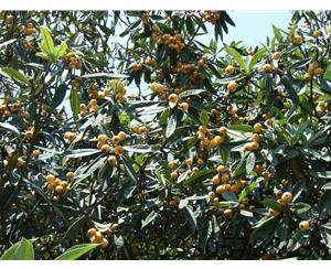 丽水白枇杷果苗供应商    白枇杷种苗批发价格电话   厂家直销  种类繁多