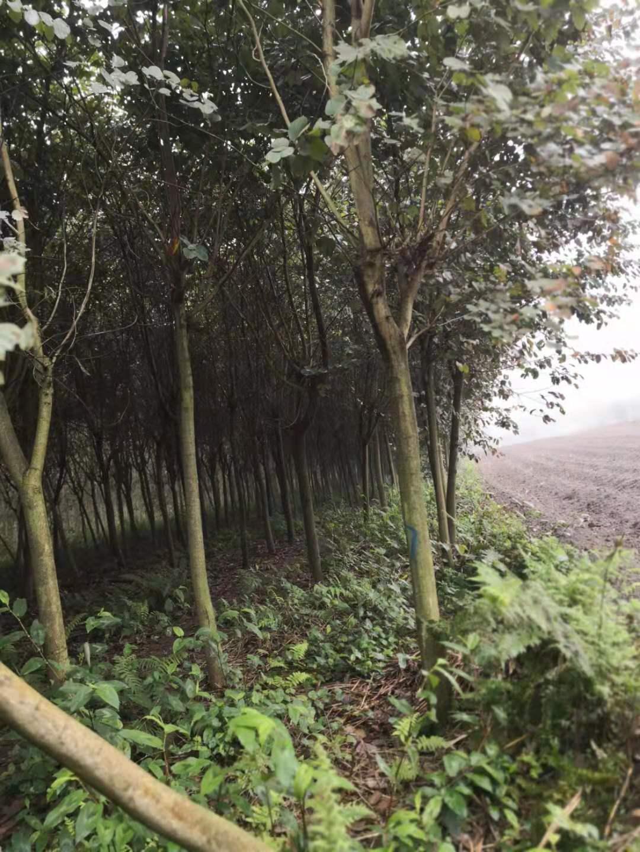 贺州市宫粉紫荆种植基地 宫粉紫荆价格 各种规格园林树苗