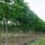 优质乌桕树价格 精品乌桕树 乌桕种植基地