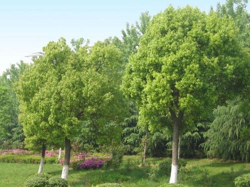 精品香樟树价格 杭州市香樟价格 园林绿化树苗种植基地