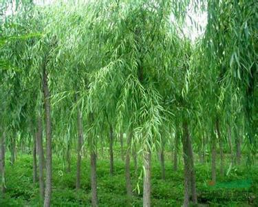 苏州市垂柳种植基地 园林绿化专用树苗批发 南京市苗木基地