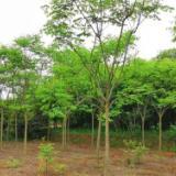 栾树苗 无患子绿化苗木批发 种植基地直销