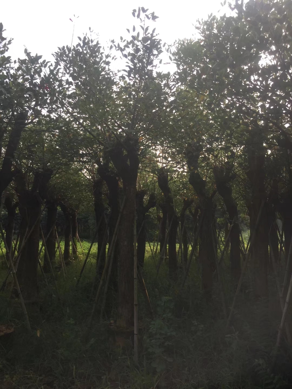 福建漳州米径10公分鸡冠刺桐基地 哪里有种植批发基地 哪里有卖 多少钱一棵
