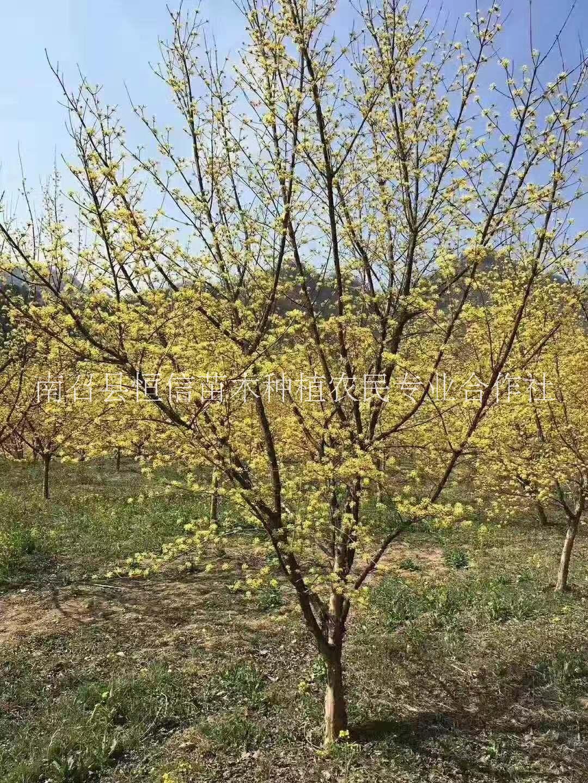 山茱萸种苗销售