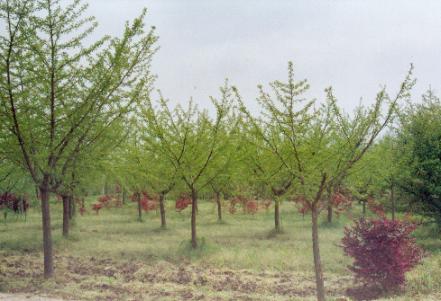 常年出售银杏树基地直销电话,江苏优质银杏树批发价格报价,江苏哪里有银杏树卖