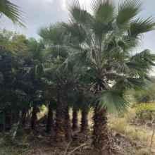 华棕批发价格专业种植基地