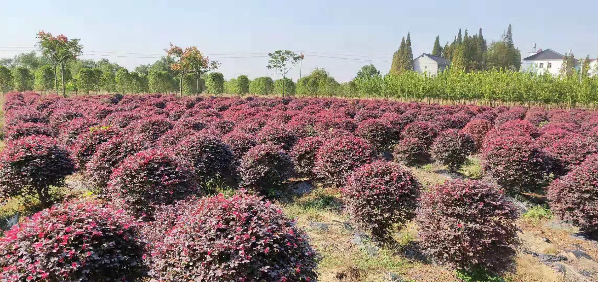 江西九江红继木-红继木小苗-量大从优-批发种植基地哪里有卖多少钱