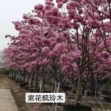 江门紫花枫玲报价,批发,种植基地
