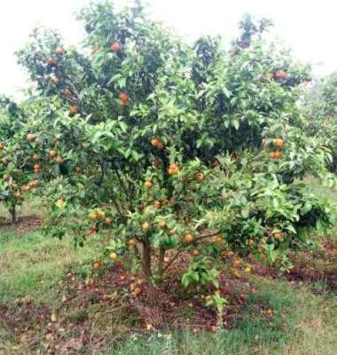 柑橘苗图片/柑橘苗样板图 (1)