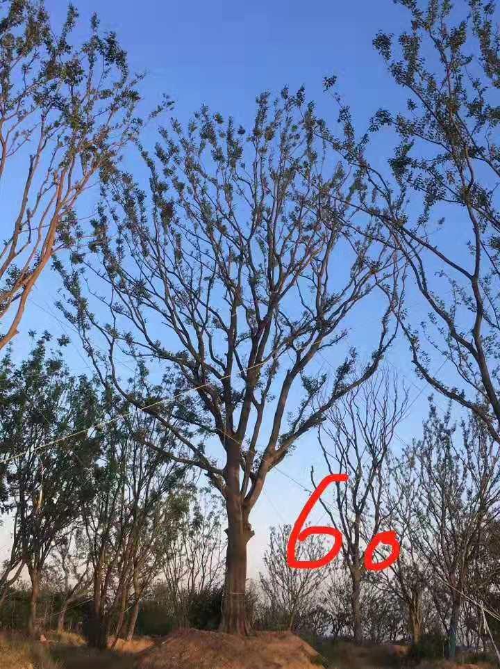 单杆朴树种植基地,价格,报价