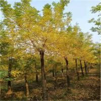 山东济宁5-18公分黄金槐种植批发基地批发价格哪里有卖多少钱