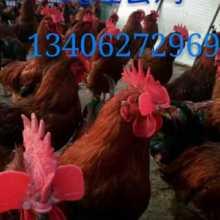 福建纯种九斤黄鸡苗养殖场价格多少钱-九斤黄鸡苗报价图片