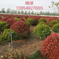 临沂市1米5-2米5红叶石楠球-基地-供应商-批发-出售