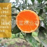 091无核沃柑苗种植基地、供应、批发、价格【四川瑞农天蓝林业有限公司 】