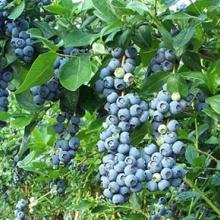 山东泰安优质蓝莓苗;莱格西,伯克利,奥尼尔,批发价格,存货量 莱格西,伯克利,斯巴坦,奥尼尔批发