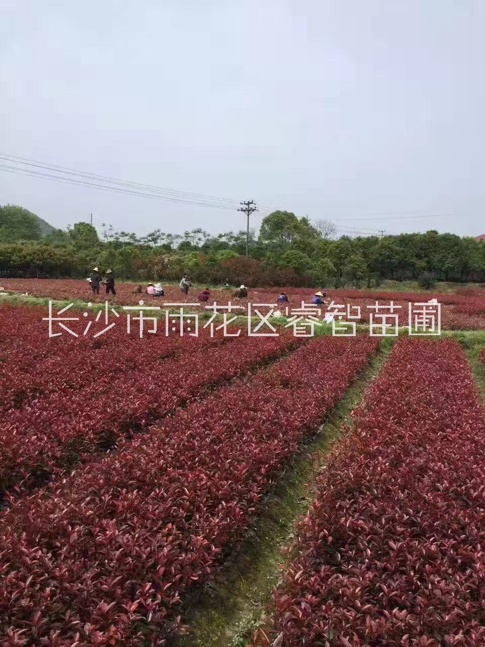 红叶石楠树基地直销红叶石楠价格表