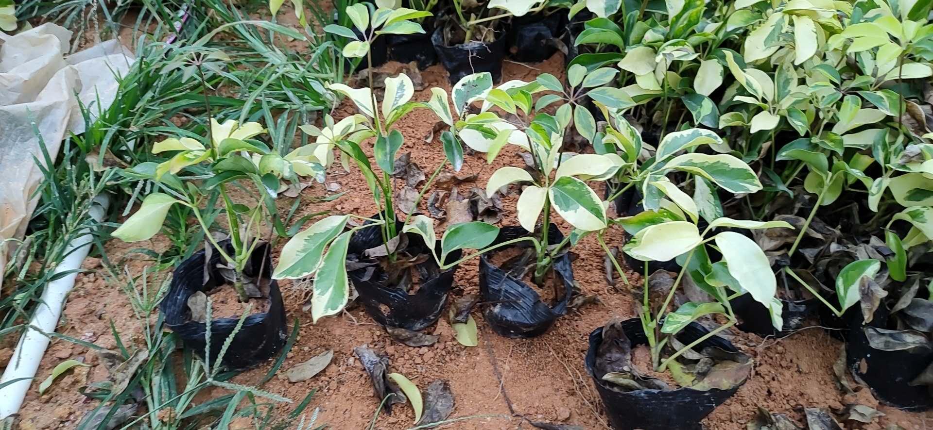 优质花叶鸭脚木 东莞优质花叶鸭脚木供应商 大量供应花叶鸭脚木