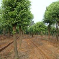 宁波香樟苗木种植基地批发价格