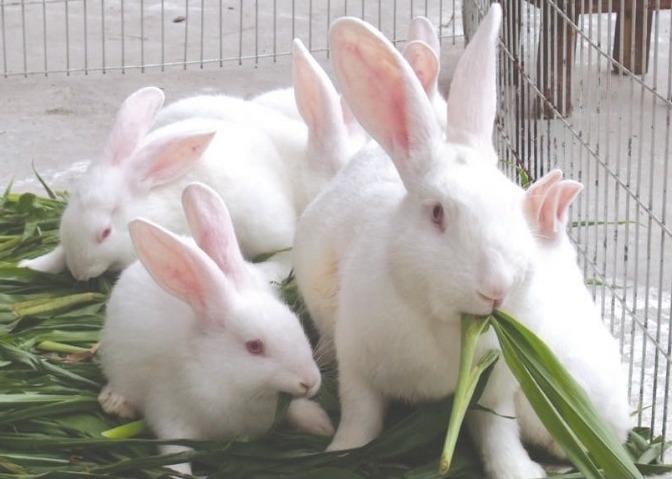 新西兰兔 种兔 肉兔 比利时兔 新西兰兔 种兔 比利时兔 肉兔 供新西兰兔 种兔 比利时兔 肉兔