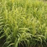 贵州花叶芦竹基地,贵州水生植物基地 挺水植物 批发,价格 用于水景园林背景材料,也可点缀于桥、亭四周,可盆栽用于庭院观赏