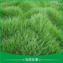 廣東肇慶溝葉結縷草皮草卷培育基地直銷價格圖片