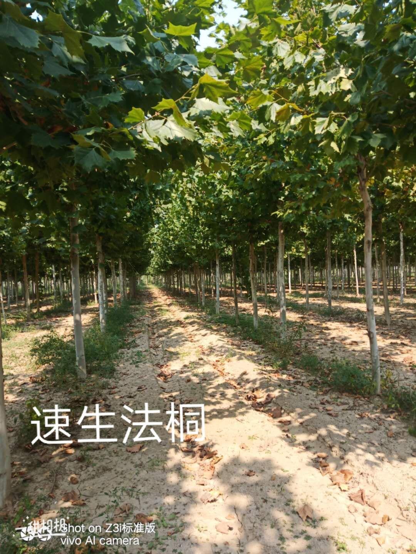 山东滨州12-18公分速生法桐基地批发价格多少钱哪里有卖 10公分 12公分 15公分 18速生法桐