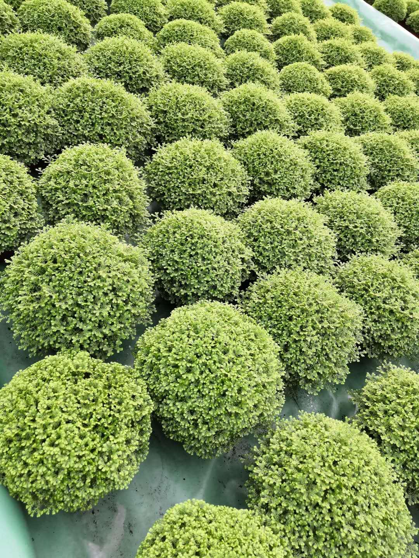 室内绿地球小盆栽  基地直供绿墙植物绿地球  优质耐养绿地球小盆栽