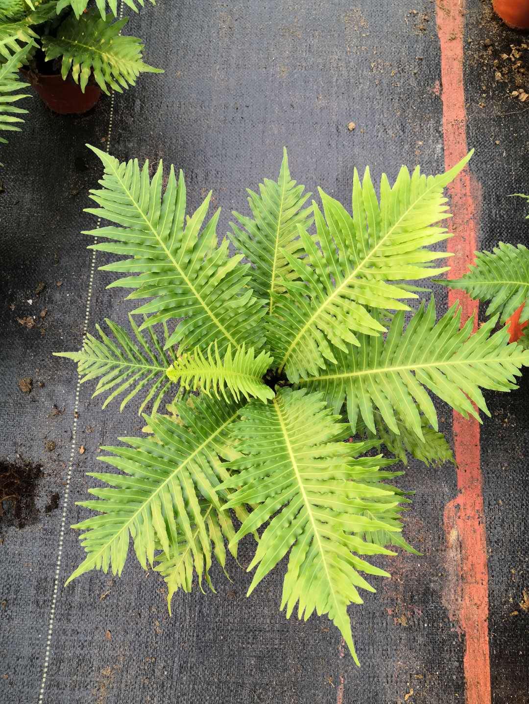观叶植物富贵蕨盆栽 净化空气盆景富贵蕨 花卉造景室内美化富贵蕨盆栽