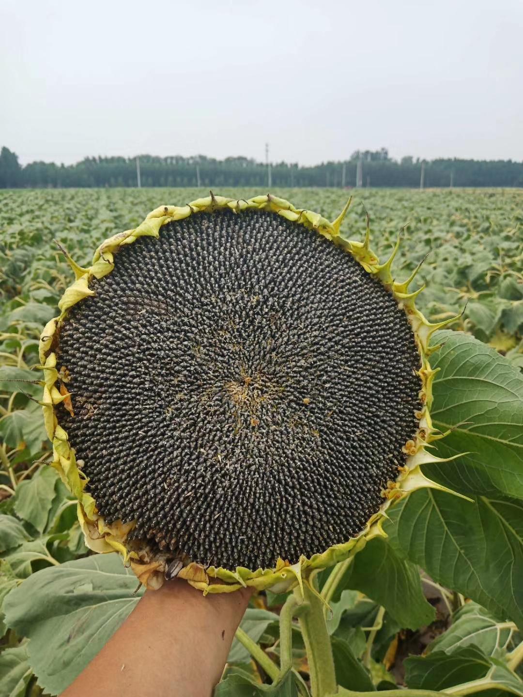 广东矮杆油葵种子价格、批发、报价【酒泉绿象农业服务有限责任公司】