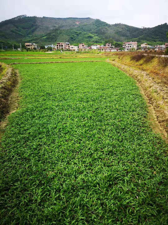 珠海大叶油草基地,珠海草皮基地直销,批发,价格,哪里有卖