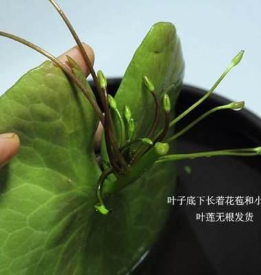 云南金银莲花图片/云南金银莲花样板图 (3)