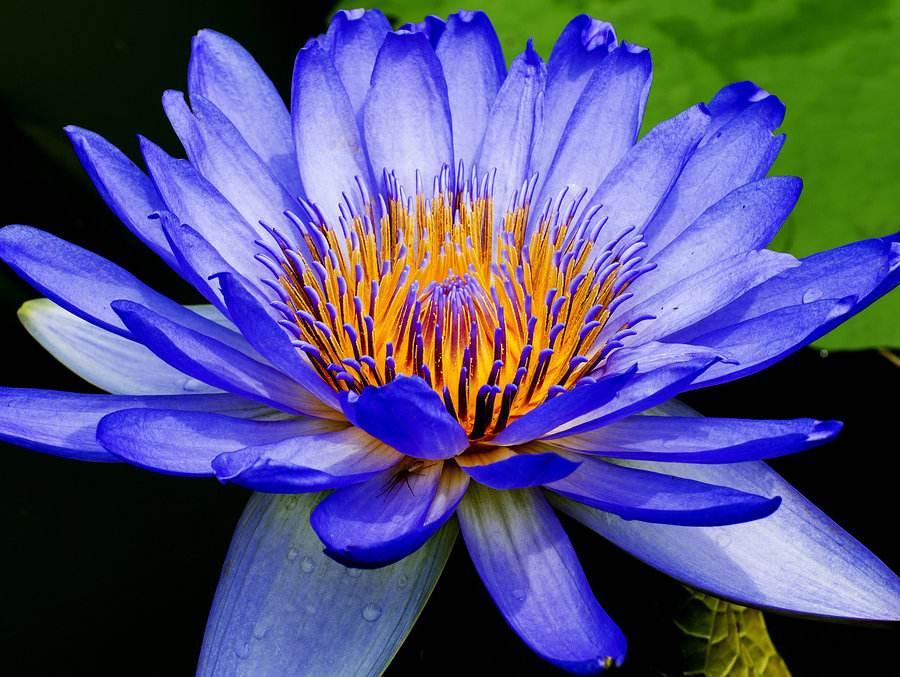 贵州蓝色睡莲种植基地,批发,多少钱一株【贵州沁扬农业科技开发有限公司】
