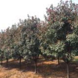 江苏南京5公分红叶石楠树基地,3公分,8公分批发,价格,优质供应商,哪里有卖?多少钱一棵