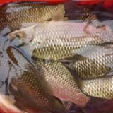 惠州鲫鱼苗价格  养殖场鱼苗批发多少钱  河源鱼苗出售电话