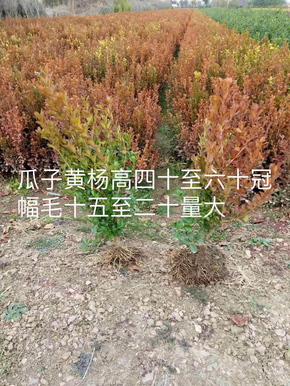 江苏绿萼梅基地-「绿萼梅」绿萼梅_价格_图片_产地报价表【江苏康庆园林梅花基地】