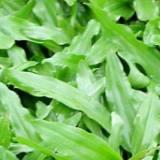 大叶油草 佛山大叶油草种植基地 大叶油草种植方法