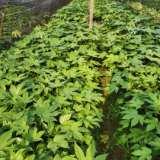 背阴植物 20到30公分高  30到40公分高 50到80公分高的